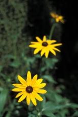 Echo floral