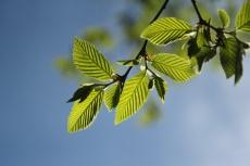 Jeunes feuilles (1)