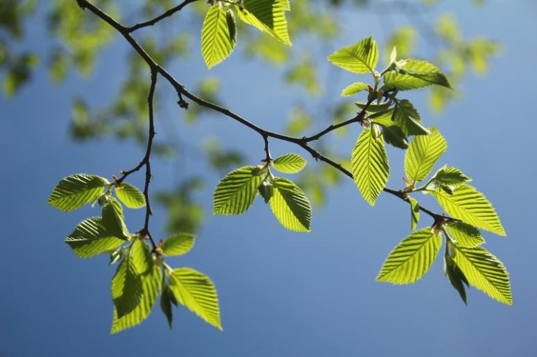 Jeunes feuilles de printemps.