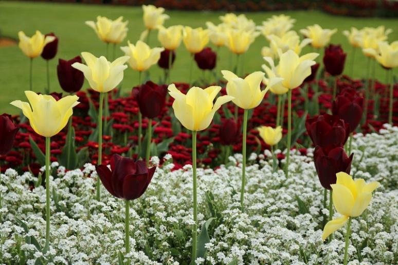 Tulipes du parc du Thabor (Rennes)