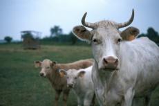 Vache et sesveaux