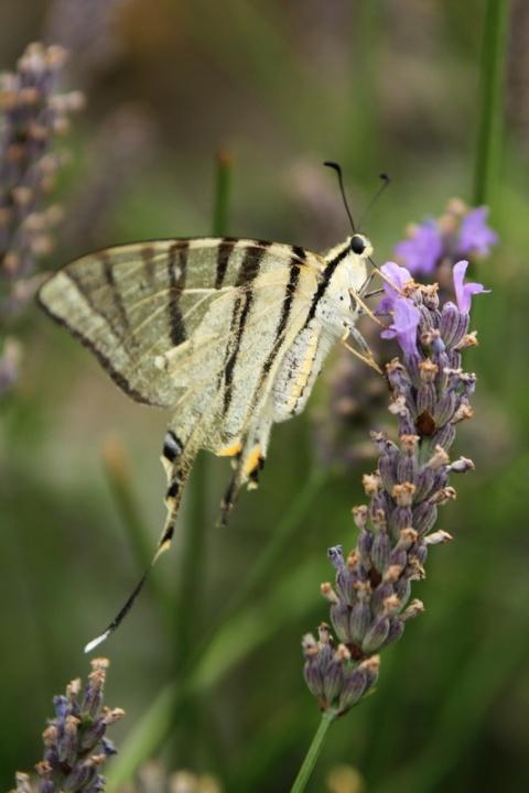 Papillon (Flambé).