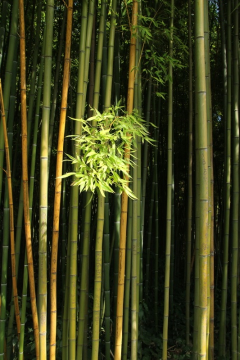 Bambou au Jardin des Plantes de Montpellier.