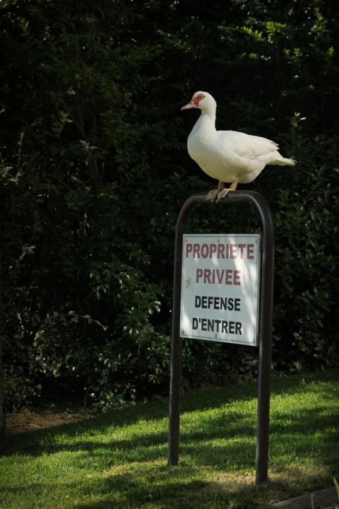 Canard de garde