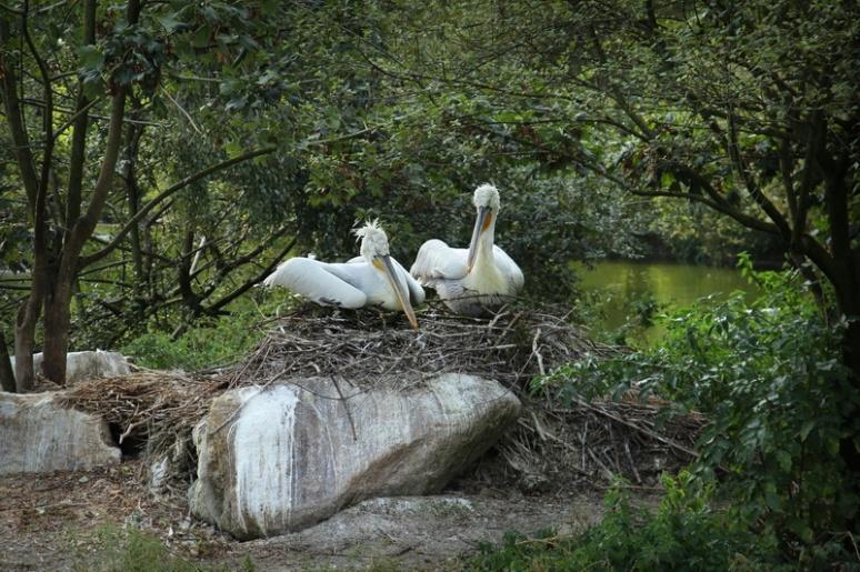 Pélicans sur leur nid
