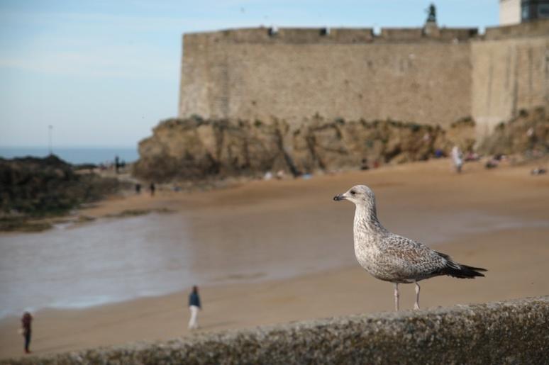 Jeune Goéland à Saint-Malo