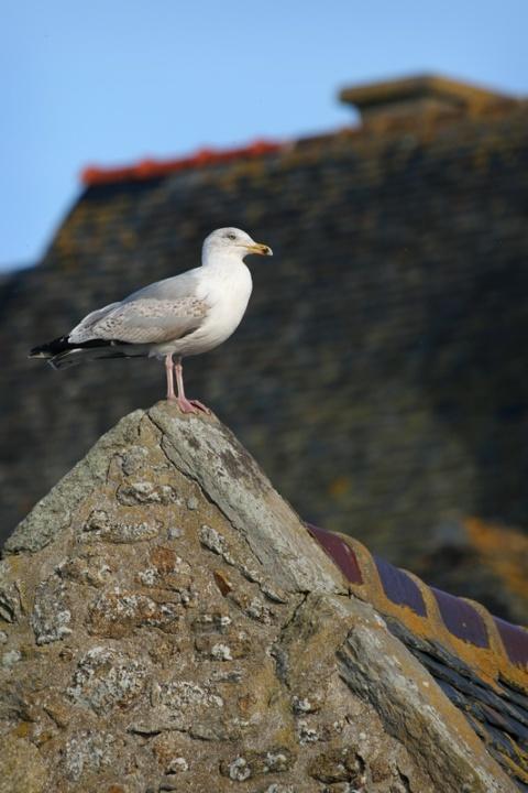 Goéland à Saint-Malo