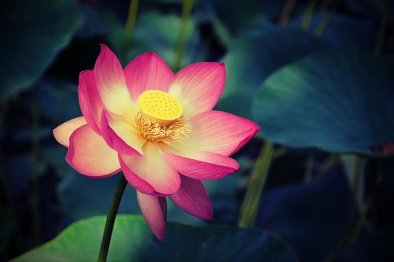 Fleur de Lotus (Parc animalier de Branféré, Morbihan)
