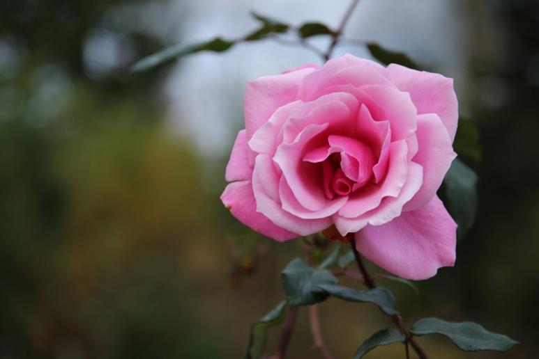 Rose au parc du Thabor (Rennes)