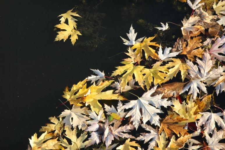Feuilles mortes sur la Vilaine, à Rennes (France, Bretagne) - Octobre 2016