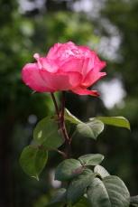Roseraie du parc duThabor